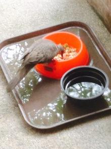 นกเขากินอาหาร